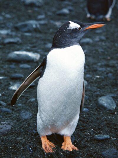 """全世界最可爱的水晶奇石坠""""南极帝王企鹅""""!"""